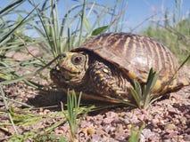 在石渣的一个龟盒盖了足迹 免版税库存图片