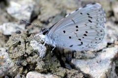 在石渣的春天天蓝色的蝴蝶 免版税库存照片