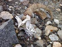 在石渣的有角的山羊头骨 库存照片