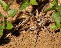 在石渣的蜘蛛 库存照片