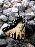 在石渣的蝴蝶特写镜头 免版税库存图片