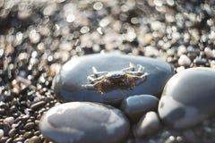 在石渣的螃蟹 海洋动物,海滩 室外 免版税图库摄影