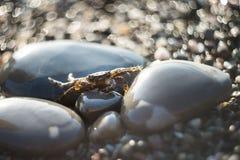 在石渣的螃蟹 海洋动物,海滩 室外 免版税库存照片