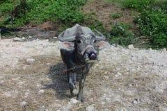 在石渣的黑色美洲野牛 免版税库存照片