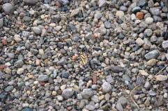在石渣的黑脉金斑蝶 免版税库存照片