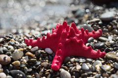 在石渣,海滨的红色海星 海洋生物 库存图片