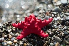 在石渣,海滨的红色海星 海洋生物 库存照片