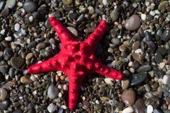 在石渣,海滨的红色海星 海洋生物 免版税图库摄影