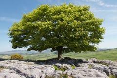 在石灰石的一棵树在春天 免版税库存照片