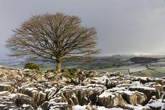 在石灰石的冬天树 库存图片