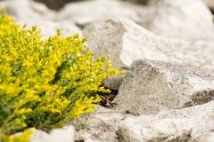 在石灰石草背景的开花的黄色花  免版税库存照片