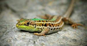 在石等待的蜥蜴 免版税库存图片