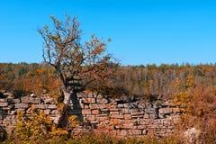在石篱芭的背景的一棵老树和秋天颜色的一个森林 库存照片