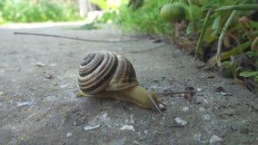 在石背景的蜗牛爬行 耳蜗在地面上爬行 关闭视图 股票录像