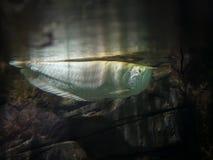 在石背景的水下的食肉动物的白色鱼 免版税库存图片