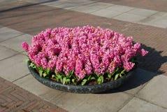 在石花盆的桃红色风信花Hyacinthus植物生长 免版税库存图片