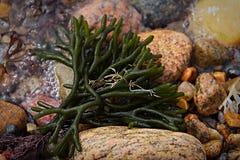 在石头中的小的海草 免版税库存图片