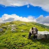 在石头中的熊在山坡 库存图片