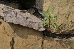 在石头之间的草 库存图片