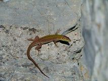 在石头的一只克罗地亚蜥蜴 免版税图库摄影