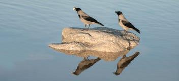 在石头的两只乌鸦 库存图片