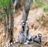 在石头的两只catta狐猴 库存图片