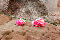 在石头的两支桃红色康乃馨 免版税库存照片