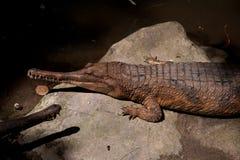 在石头的两条鳄鱼 图库摄影