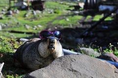 在石头的佩带的太阳镜土拨鼠 库存照片