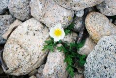 在石头的单独白罂粟 库存照片