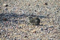 在石头的啮齿目动物 库存图片