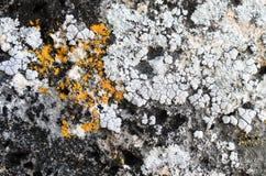 在石头的地衣 免版税库存照片