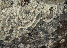 在石头的地衣 库存照片