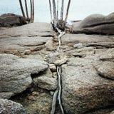 在石头的失去的根 库存图片