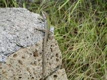 在石头的小蜥蜴 库存图片