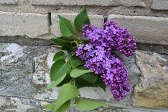 在石头的开花的淡紫色分支 图库摄影