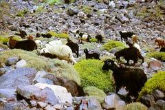 在石头的摩洛哥山羊在绿色植物 库存照片