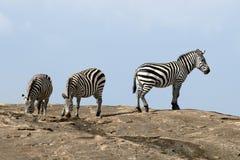 在石头的斑马在非洲 免版税库存照片