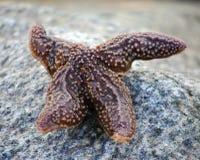 在石头的海星 免版税库存照片