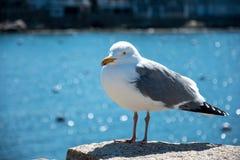 在石头的海鸥 库存照片