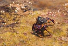 在石头的湿海螃蟹在一个晴朗的夏日 免版税库存图片