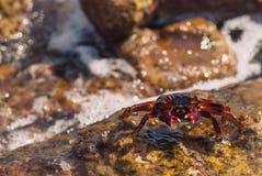 在石头的湿海螃蟹在一个晴朗的夏日 免版税库存照片