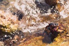 在石头的湿海螃蟹在一个晴朗的夏日 库存图片