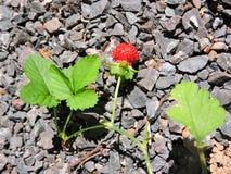 在石头的红色野草莓 库存图片