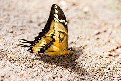 在石头的美丽的蝴蝶 免版税库存图片