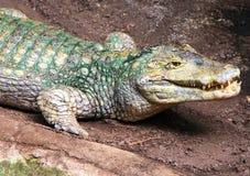 在石头的美国短吻鳄 作甜点 微笑 图库摄影