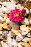 在石头的花 库存照片