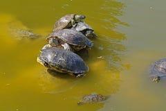 在石头的草龟 免版税库存照片