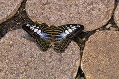 在石头的蓝色飞剪机蝴蝶 免版税图库摄影