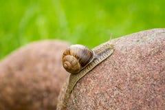 在石头的蜗牛 免版税库存图片